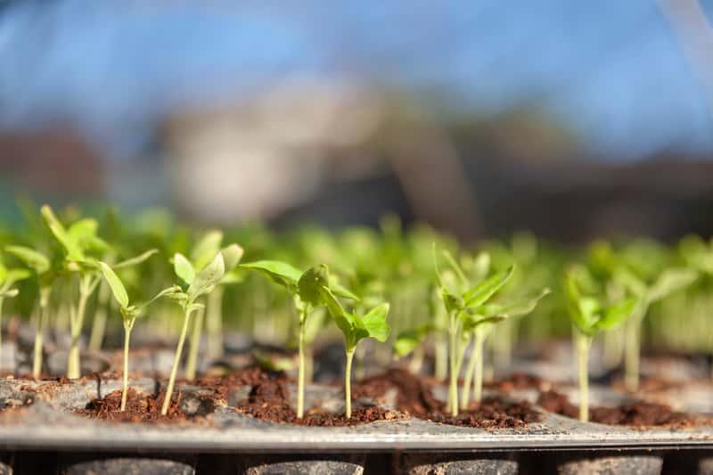 Rozsada warzyw krok po kroku - rozsada pora, selera, sałaty czy pomidora