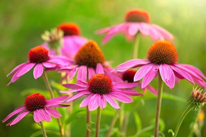 Piękna rudbekia w okresie kwitnienia