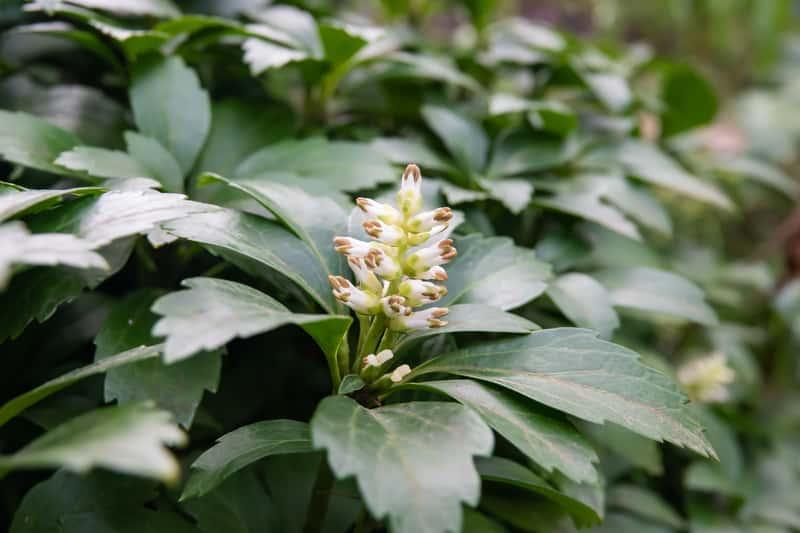 Runianka japońska - wymagania, sadzenie, uprawa, pielęgnacja, choroby