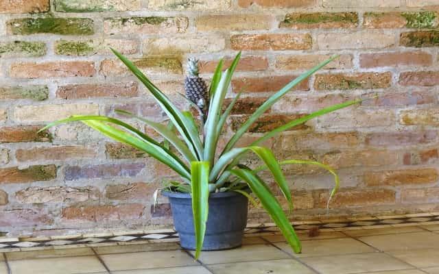 Jak zasadzić ananasa? Praktyczny poradnik hodowli egzotycznego owocu