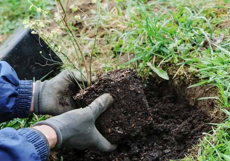 Jak sadzić borówkę amerykańską? Praktyczny poradnik krok po kroku