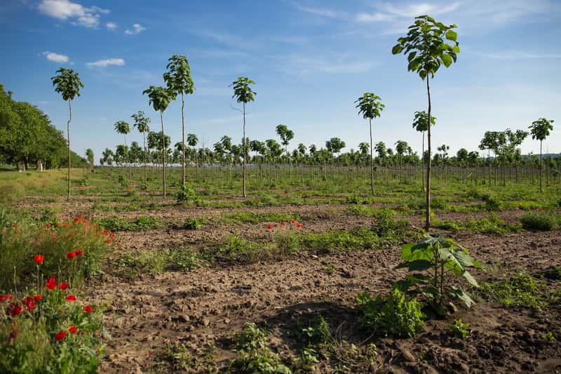 Paulownia (pawłownia) - odmiany, sadzenie, uprawa, pielęgnacja, wymagania