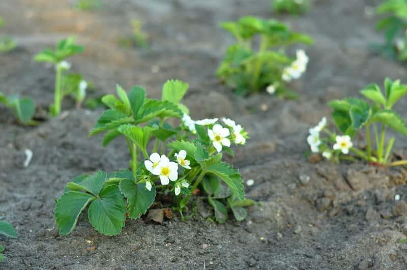 Jak wybrać sadzonki truskawek? Odmiany, ceny, porady gdzie kupić i na co zwrócić uwagę
