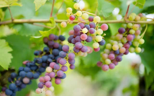 Sadzenie winogron wiosną i jesienią - poradnik praktyczny