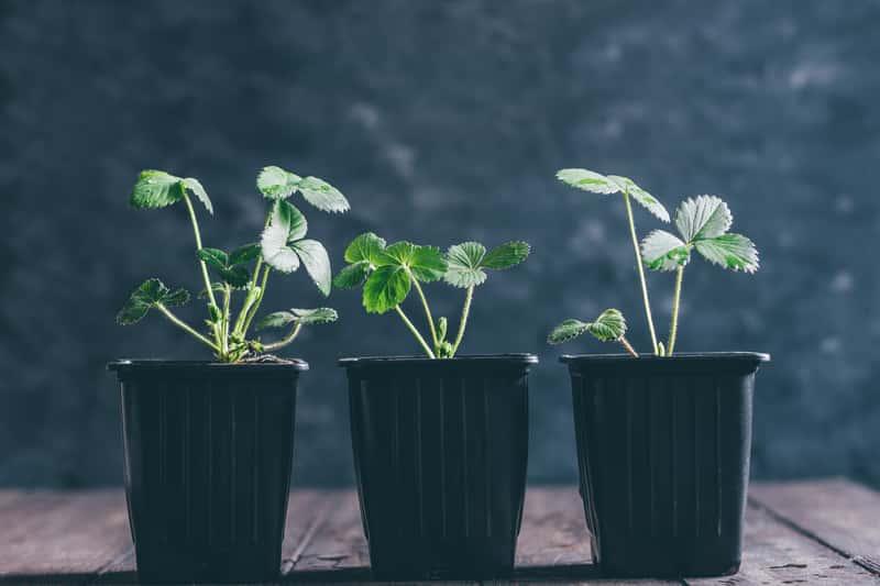 Najpopularniejsze sadzonki truskawek - odmiany, ceny, gdzie kupić?