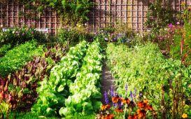 Sąsiedztwo warzyw - co można sadzić obok siebie?