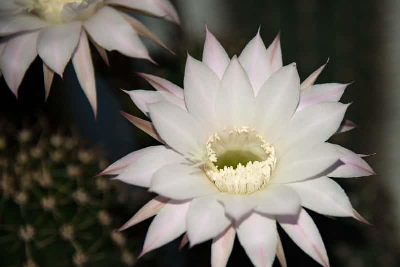 Selenicereus wielkowiatowy w czasie kwitnienia