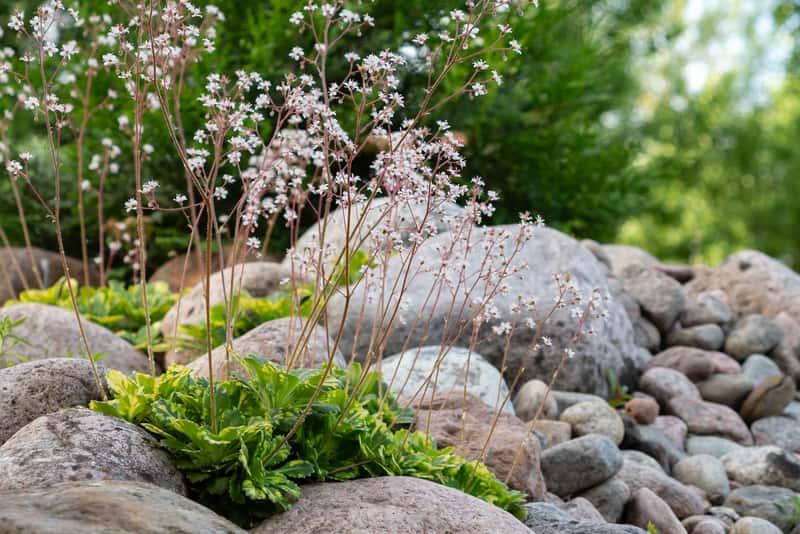 Skalnica cienista - wymagania, sadzenie, uprawa, pielęgnacja, porady praktyczne