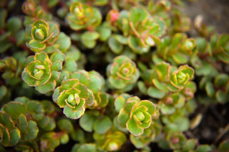 Skalnica gronkowa (Saxifraga paniculata) - wymagania, uprawa, pielęgnacja