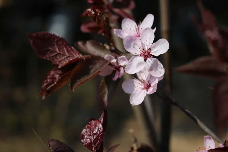 Kwiat śliwy wiśniowej w ogrodzie