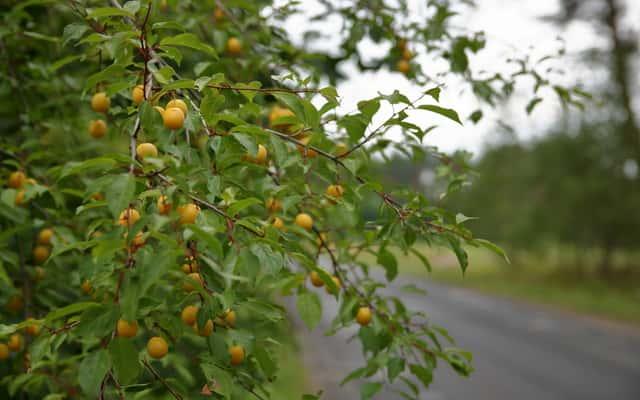 Śliwka mirabelka - odmiany, wymagania, uprawa, przetwory, właściwości i zastosowanie