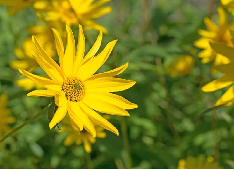 Kwiat słonecznika bulwiastego, czyli inaczej topinamburu w ogrodzie, kwitnący na interesujący, żółty kolor