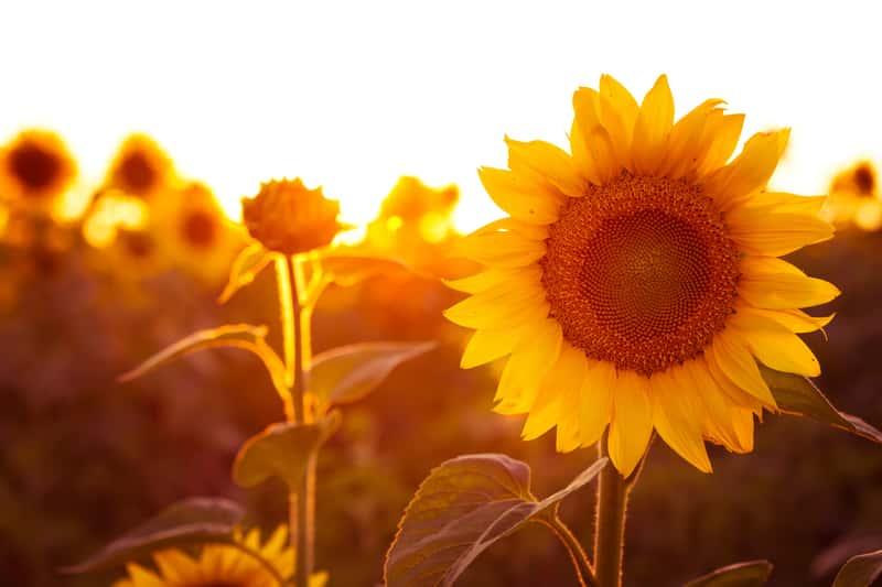 Dojrzały słonecznik w ogrodzie