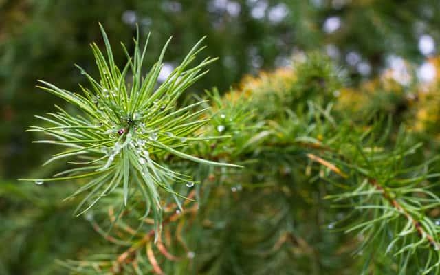 Sosna bośniacka (Pinus heldreichii) - odmiany, sadzenie, uprawa, pielęgnacja, ceny, porady