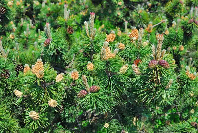 Sosna górska (Pinus mugo) - odmiany, wymagania, uprawa, pielęgnacja