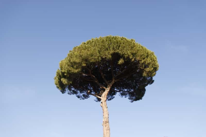 Sosna pinia - sadzenie, uprawa, pielęgnacja, porady praktyczne