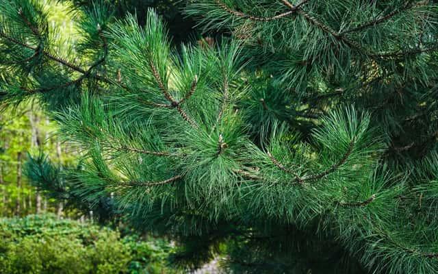 Sosna żółta (Pinus ponderosa) - opis, odmiany, uprawa, pielęgnacja, choroby
