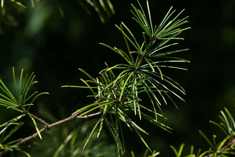 Sośnica japońska to pupularne drzewo iglaste ze względu na wygląd i to, że uprawa sośnicy japońskiej nie jest trudna