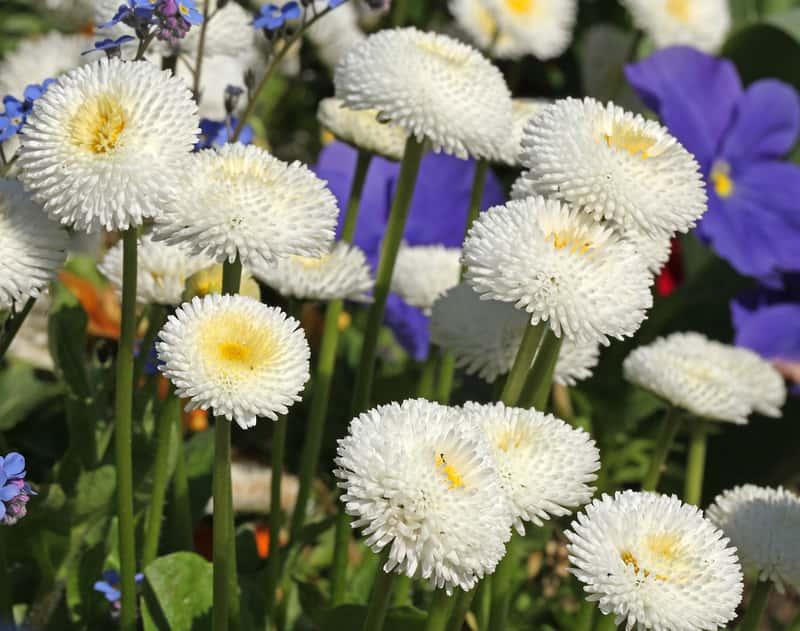 Białe stokrotki w okresie kwitnienia