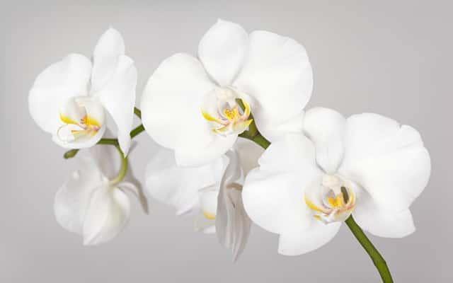 Storczyk biały - uprawa, pielęgnacja, podlewanie, cena, porady