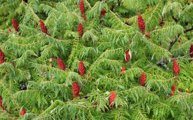 Sumak octowiec - odmiany, cena, sadzenie, pielęgnacja, przycinanie i rozmnażanie