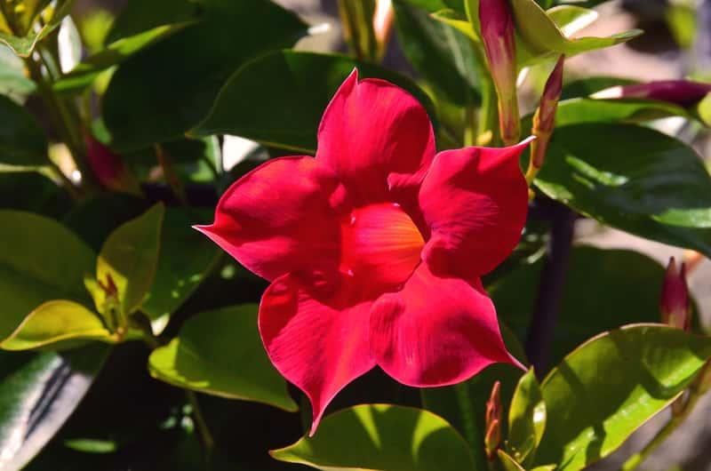 Kwiat sundaville w okresie kwitnienia