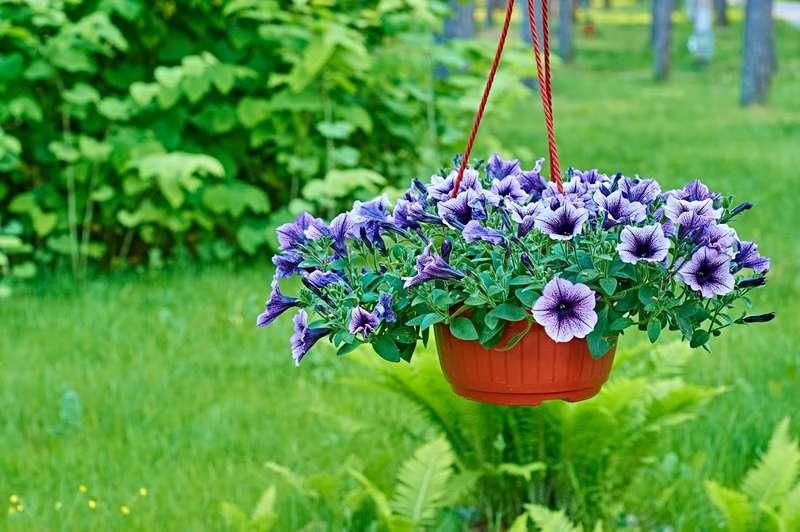 Kwitnąca petunia ogrodowa w doniczce