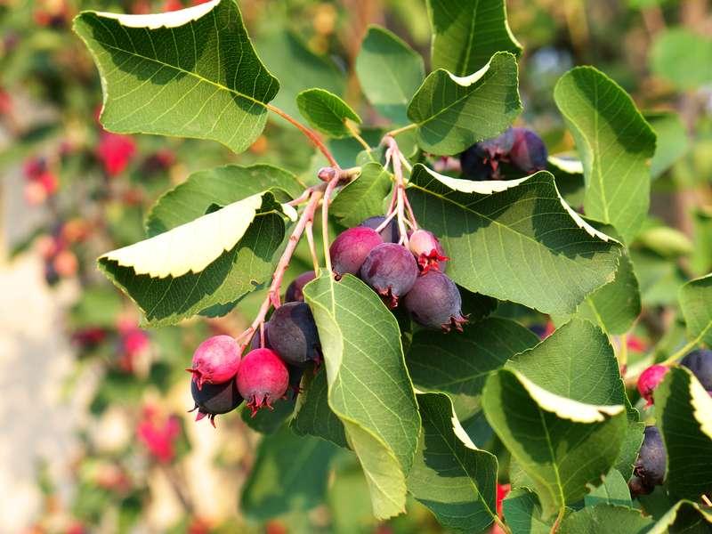 Dojrzewające owoce świdośliwy na gałęzi