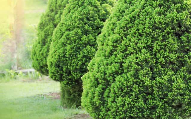 Świerk biały Conica (Picea glauca Conica) - uprawa, pielęgnacja, choroby, porady