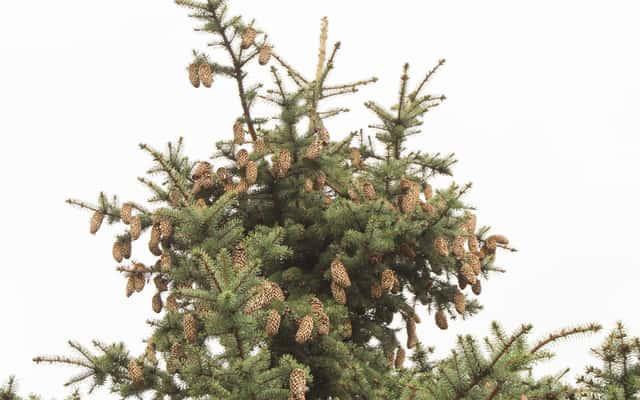 Świerk sitajski (picea sitchensis) – opis, uprawa, pielęgnacja, porady