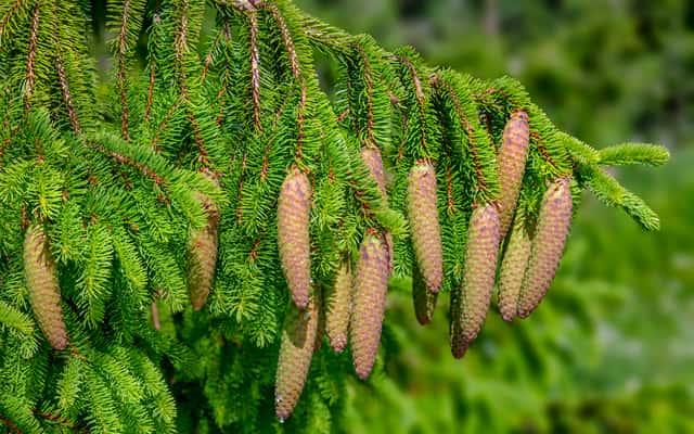 Świerk w ogrodzie - rodzaje, odmiany, pielęgnacja, uprawa i inne porady