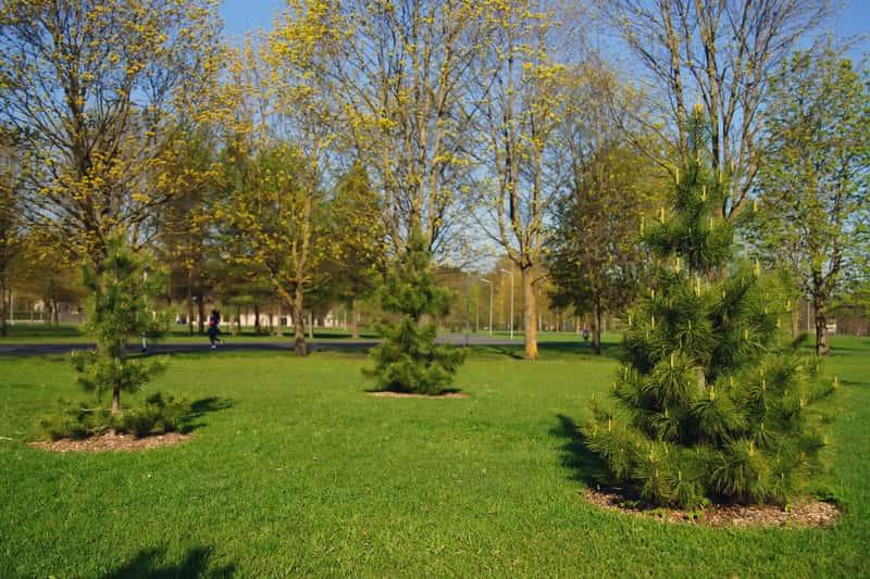 Sosna syberyjska (Pinus sibirica) - sadzonki, uprawa, pielęgnacja, choroby