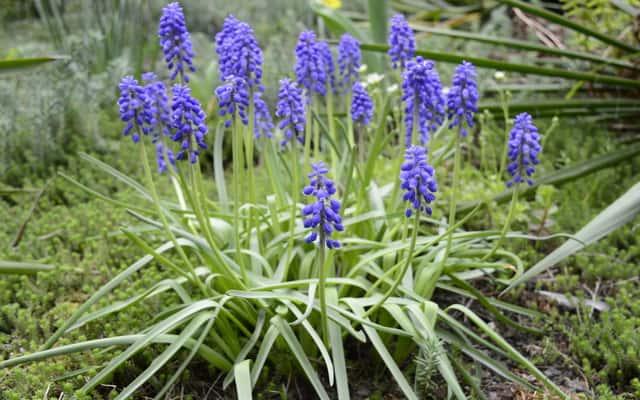 Szafirek groniasty - uprawa, pielęgnacja, kwitnienie, rozmnażanie