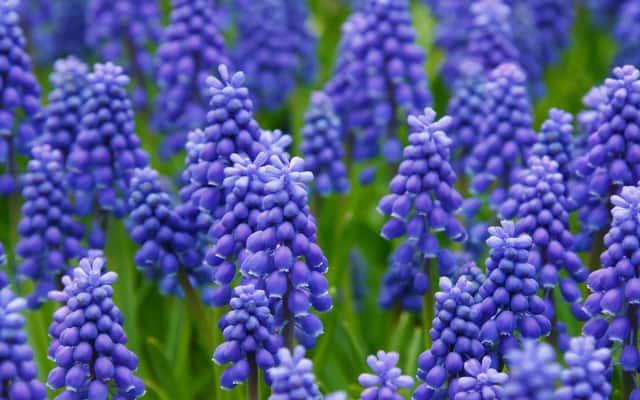 Szafirek - odmiany, sadzenie, uprawa, pielęgnacja, porady