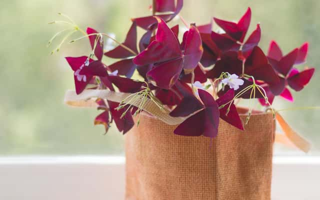Szczawik trójkątny (purpurowy) w doniczce - uprawa, pielęgnacja, wymagania, ciekawostki