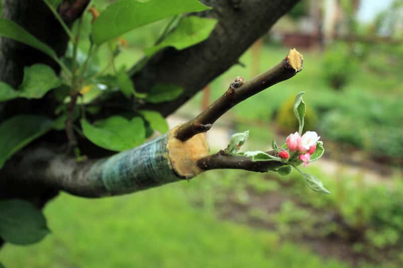 Szczepienie drzew, w tym szczepienie drzew owocowych, to tylko z pozoru trudna czynność. Poradnik krok po kroku ułatwia to zadanie.