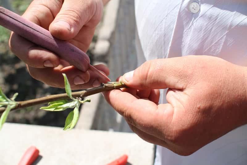 Mężczyzna przygotowujący gałązki do szczepienia drzew owocowych przy użyciu małego nożyka