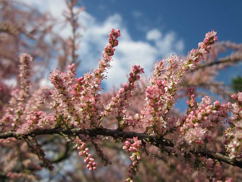Tamaryszek drobnokwiatowy w czasie kwitnięcia