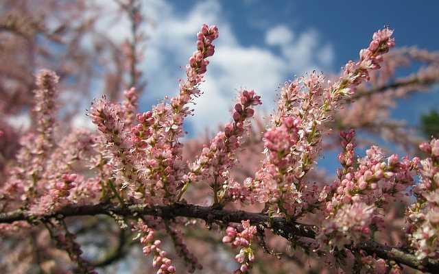 Tamaryszek drobnokwiatowy, pięciopręcikowy i francuski - porady dotyczące uprawy i rozmnażania