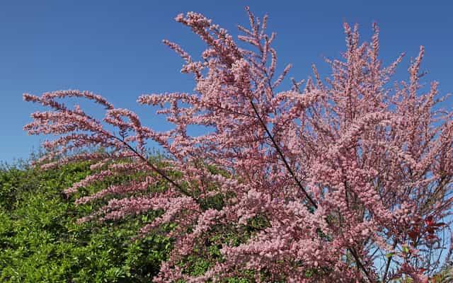 Tamaryszek drobnokwiatowy - uprawa, pielęgnacja, cięcie krzewu tamaryszku