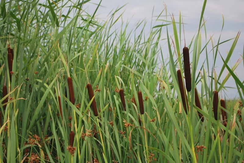 Tatarak zwyczajny - odmiany, uprawa, zastosowanie, właściwości lecznicze