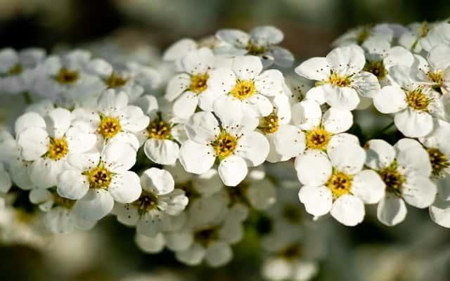 Tawuła biała (Spiraea alba) - uprawa, pielęgnacja, cięcie, rozmnażanie