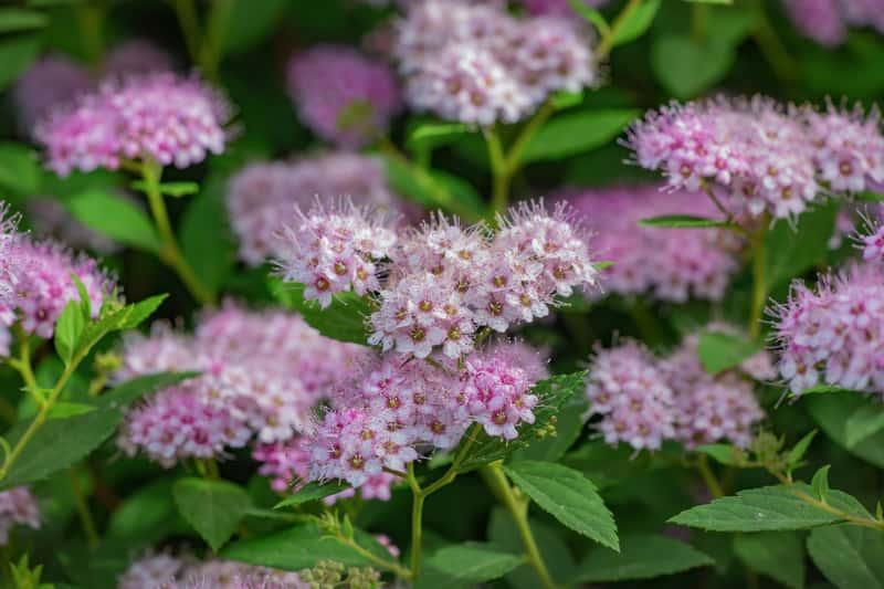 Tawuła gęstokwiatowa kwitnąca w ogrodzie