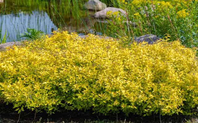 Tawuła japońska Goldmound - opis odmiany, wymagania, uprawa, pielęgnacja