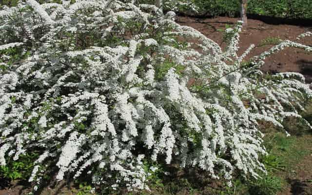 Tawuła norweska Grefsheim (Spiraea cinerea) - uprawa, pielęgnacja cięcie, porady