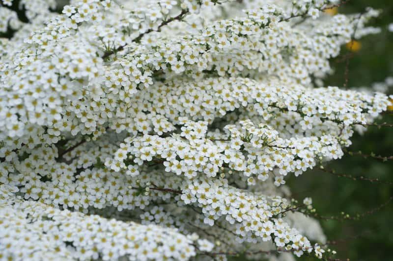 Tawuła szara kwitnąca w ogrodzie