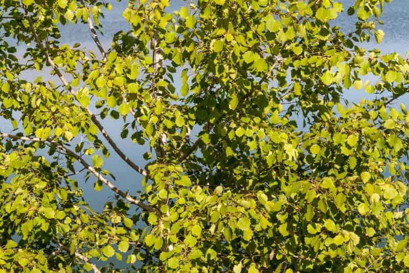 Topola balsamiczna, czyli populus balsamifera z zielonymi liśćmi. Jej uprawa nie należy do skomplikowanych.