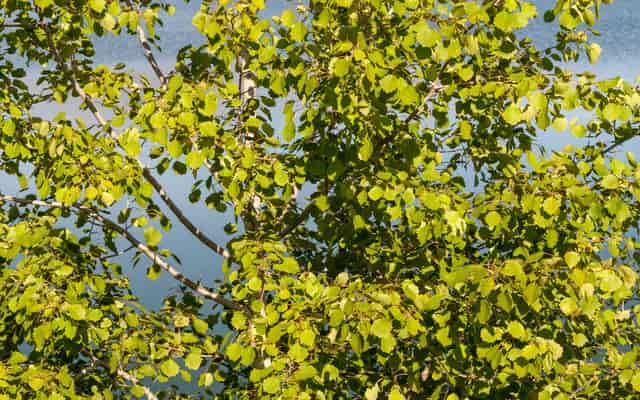 Topola balsamiczna (populus balsamifera) - opis, występowanie, sadzonki, uprawa