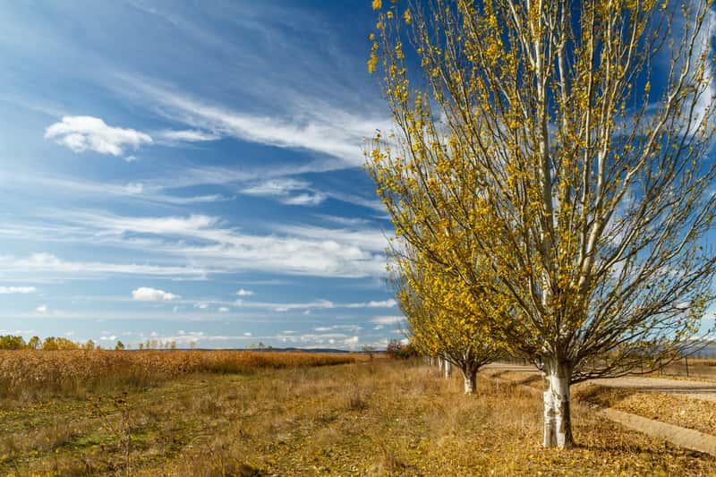 Topola biała (Populus alba) - opis, występowanie, sadzenie w ogrodzie, uprawa, porady