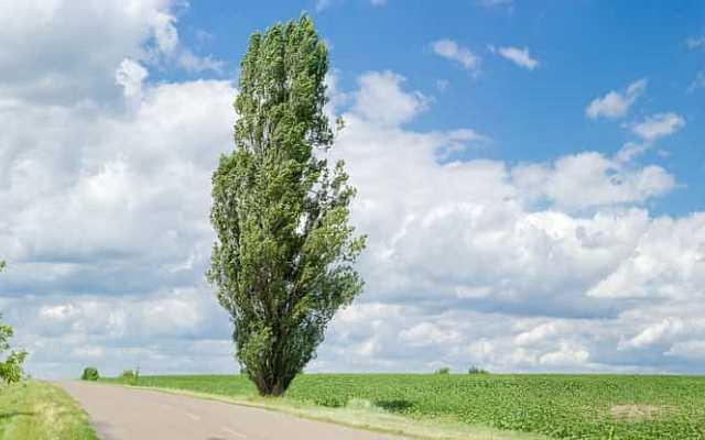 Topola czarna – odmiany, sadzonki, uprawa, pielęgnacja, ceny